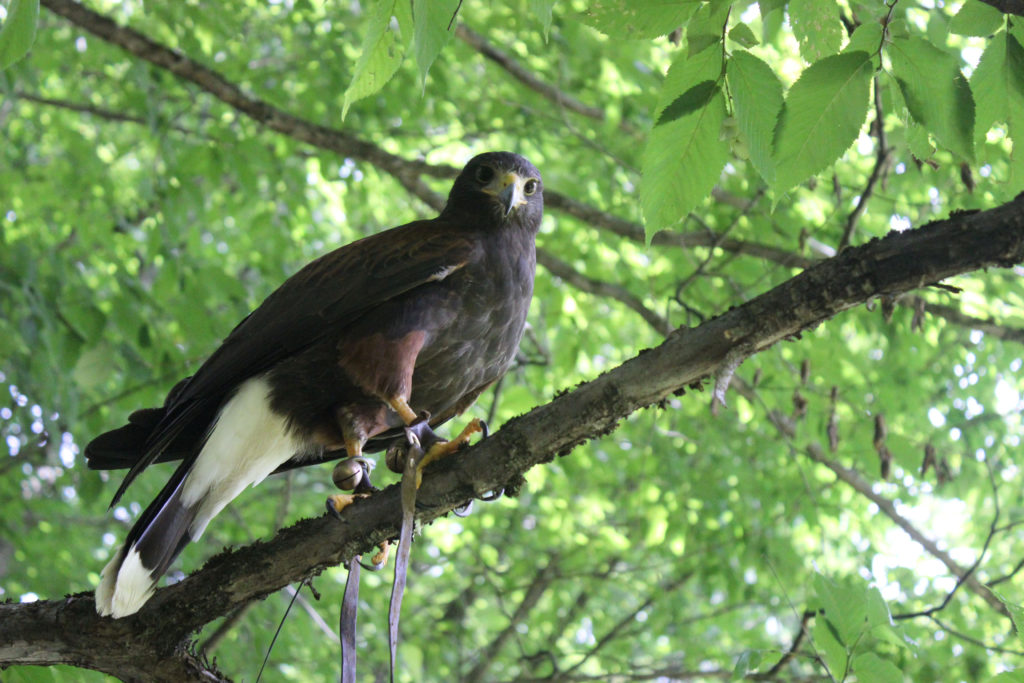 "A Harris's hawk outfitted with bells and leather straps called ""jessies,"" which serve as a sort of leash."