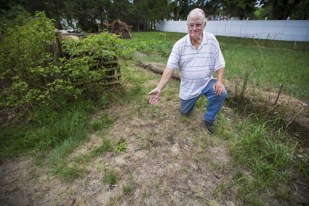 Fifty-year Billerica resident Tim Hinde displays his dried-out lawn, which he cannot water because of town restrictions on watering plants due to the summer drought conditions. Credit: Jesse Costa, WBUR.