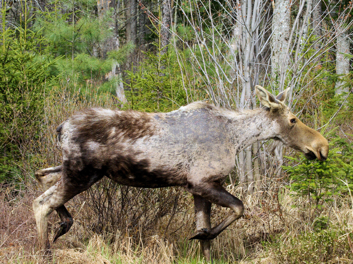 "When moose rub against trees in attempt to remove winter ticks, they can scrape off much of their dark brown hair, exposing pale undercoat and grey skin, like this female. These animals are nicknamed ""ghost moose."" Photo by Daniel Bergeron for NHFG"