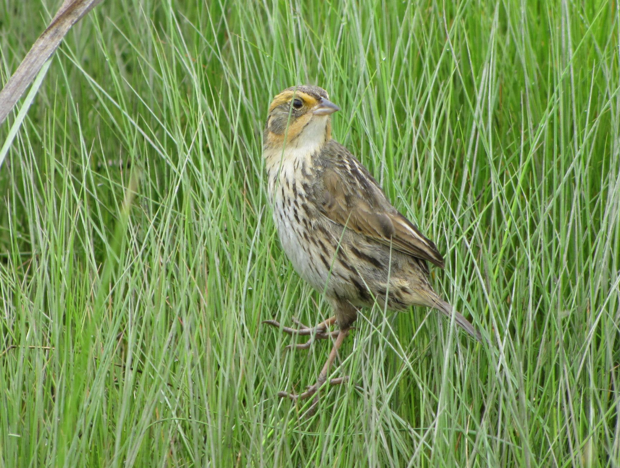Saltmarsh Sparrow-Please Credit Patrick Comins Audubon CT
