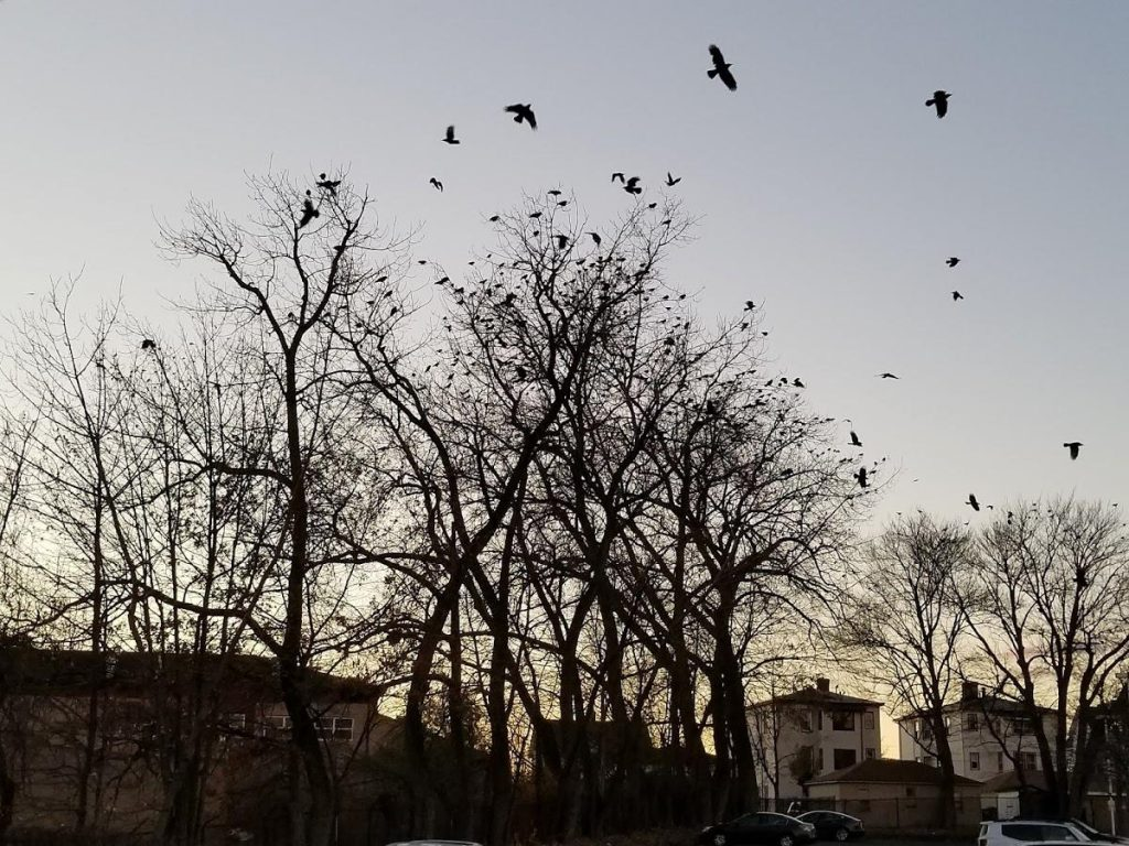 Hartford's crows roosting around Stop and Shop on New Park Avenue. Photo by Patrick Skahill for WNPR