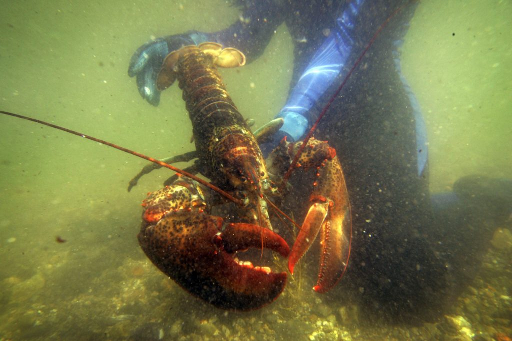 A scientist holds a lobster underwater on Friendship Long Island in July 2007. Photo by Robert F. Bukaty for Maine Public
