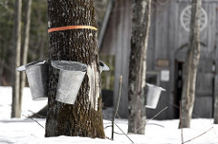 Maple sugar collection. (CC/USDA).