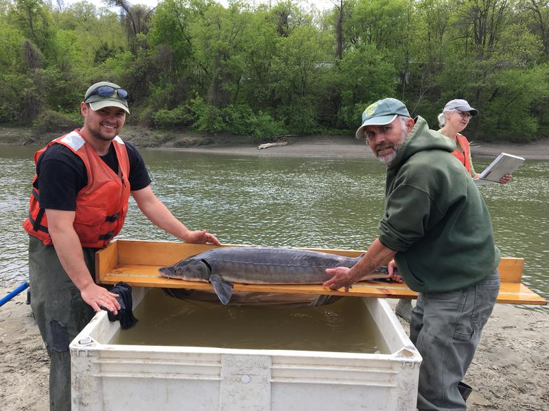 Fish and Wildlife technician Taylor Booth, left, and biologist Chet MacKenzie measure a male sturgeon caught in the Winooski River. Photo by John Dillon for VPR