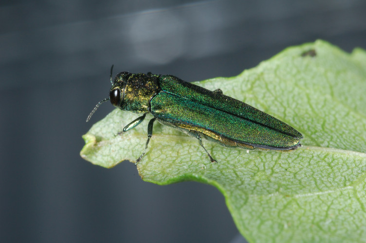 The emerald ash borer beetle sits on leaf. U.S. Department of Agriculture, Flickr