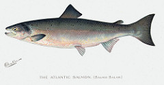 A drawing of the Atlantic Salmon. Image from NYS DEC/Flickr