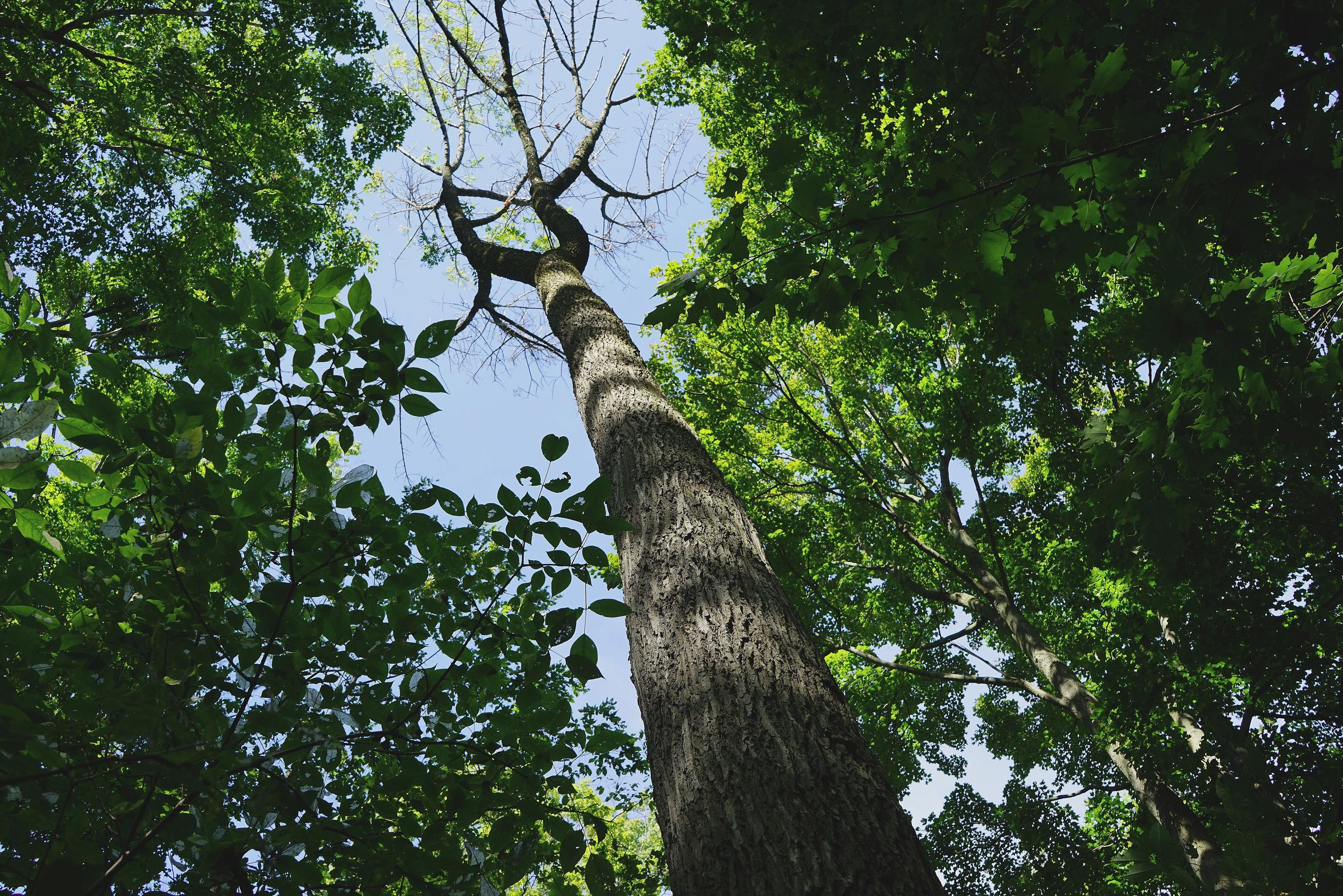 A dying ash tree infected by Emerald Ash Borer. Photo by Michael Hunter/Wikimedia Commons