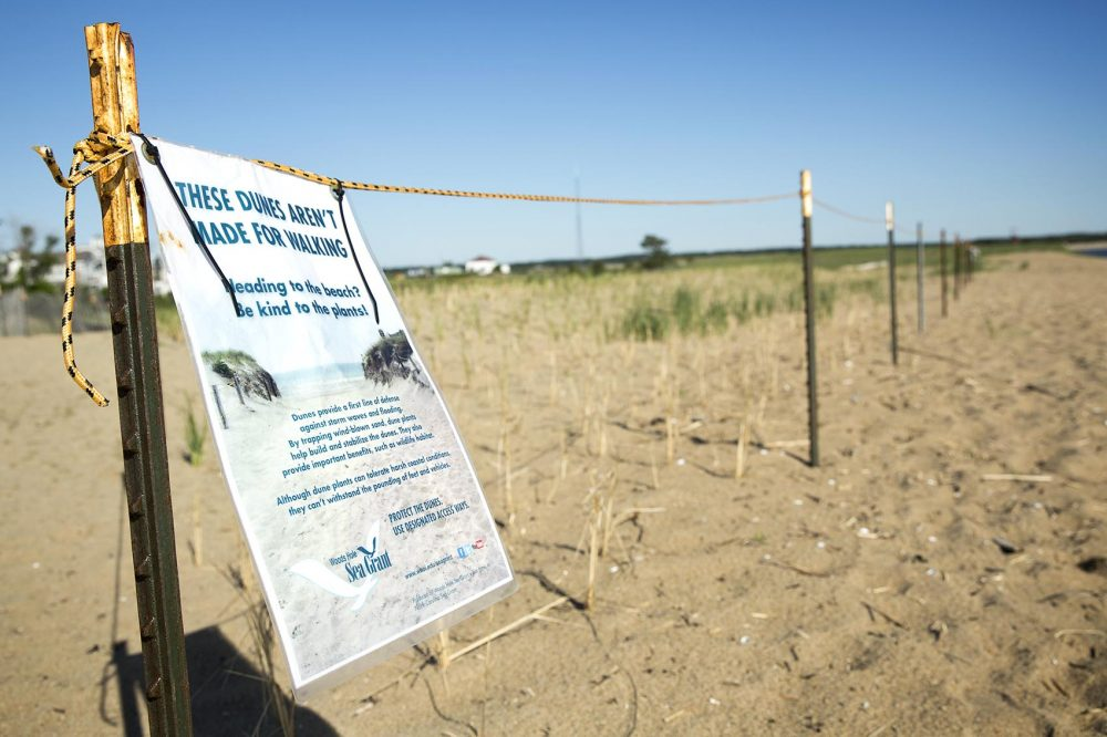 An area of recently planted beach grass on Plum Island is roped off for its protection. Photo by Robin Lubbock for WBUR