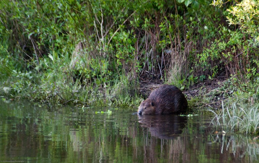 A beaver. Photo by Erin Kohlenberg, Flickr