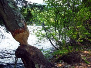 A tree that has been chewed by a beaver. Photo by Daniel Howe, Flickr.
