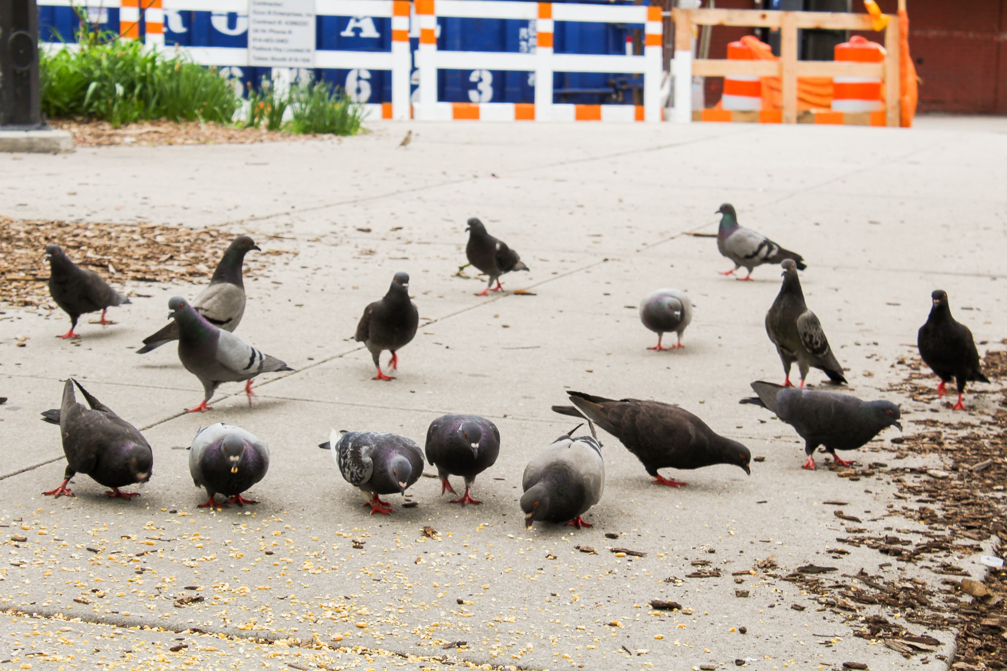 Pigeons. Photo by Christie Taylor for Science Friday