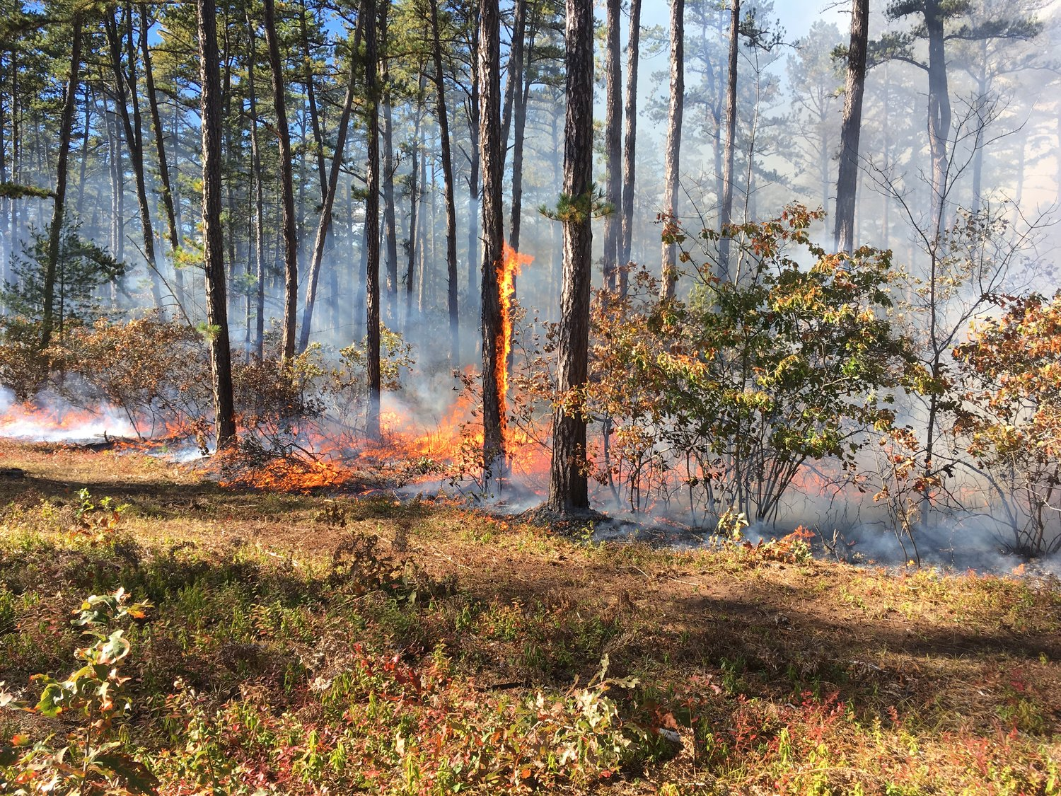 A controlled burn in a Pine Barren in northern New Hampshire. Photo by Taylor Quimby for New Hampshire Public Radio