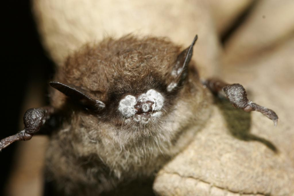 A little brown bat with White-nose syndrome photographed in 2008. Photo courtesy Ryan Von Linden, USFWS, New York Department of Environmental Conservation