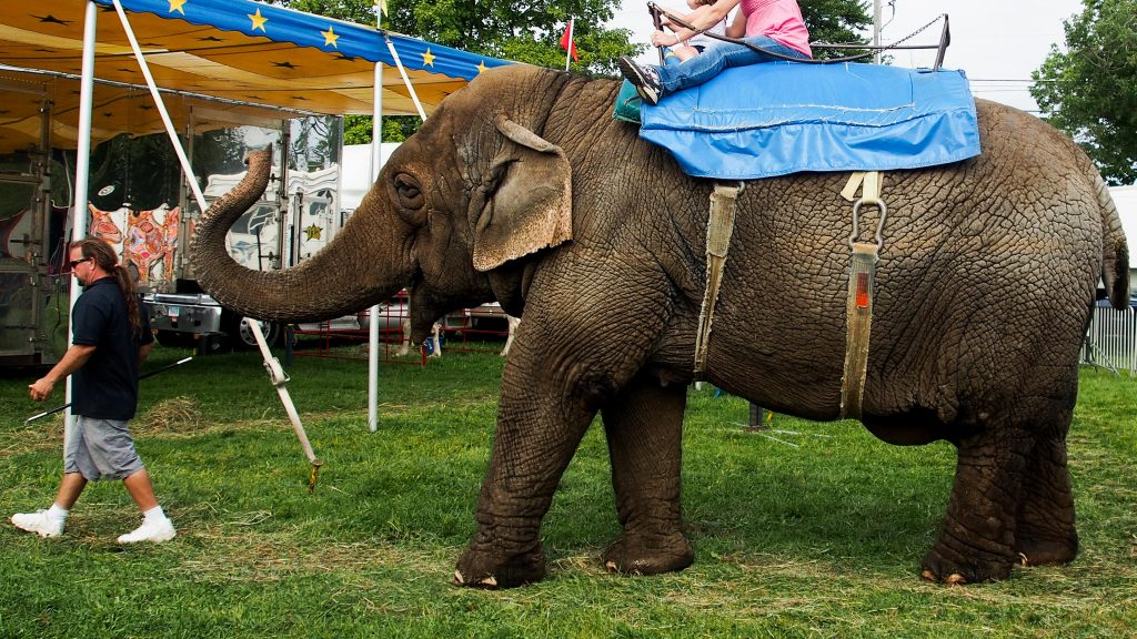Tim Commerford leads his elephant Beulah and two customers at the Goshen Fair in Goshen, Connecticut, in August. Photo by Ben James for NEPR