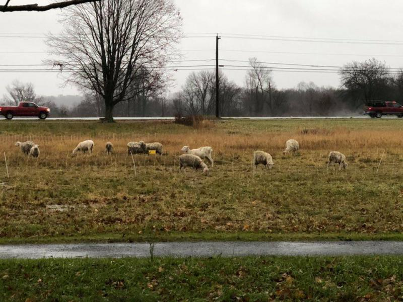 A herd of sheep on Lebanon's town green were used to mow hay. Photo courtesy of the First Selectman's Office, Town of Lebanon, Connecticut