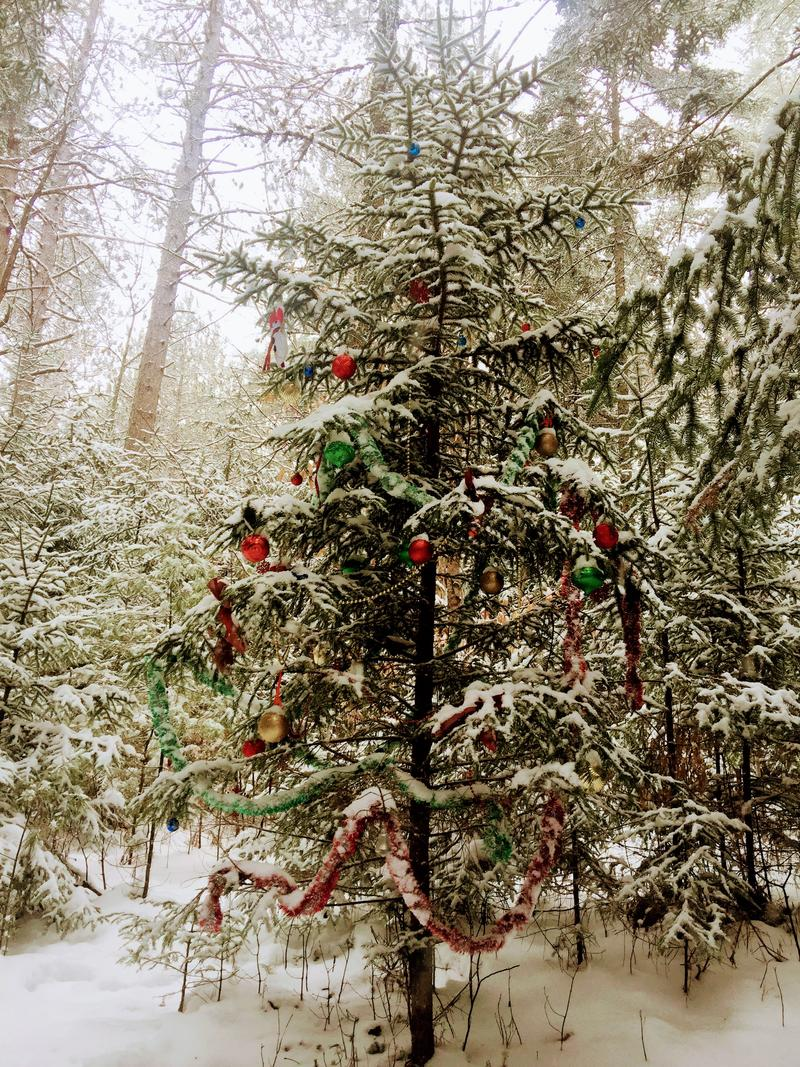 This tree can be found about a half mile up the Pine Flats Ski Trail leaving off from the Smarts Brook Trailhead. Photo by Sean Hurley for NHPR