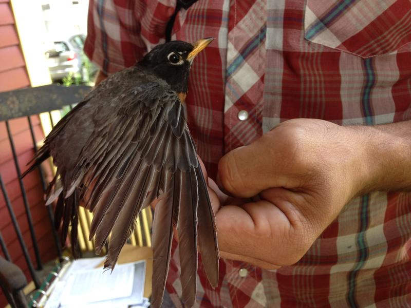 An American Robin is measured as part of federal research on urban wildlife in a backyard in Greenfield, Massachusetts. Photo by Nancy Eve Cohen for NEPR