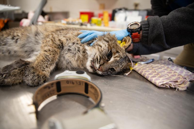 This female bobcat was tagged and outfitted with a GPS collar, which she'll wear for 300 days. Photo by Patrick Skahill for Connecticut Public Radio
