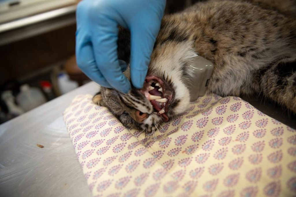 The bobcat's teeth following the procedure. The cat was outfitted with a GPS collar, which will ping location data on the cat. Photo by Patrick Skahill for Connecticut Public Radio