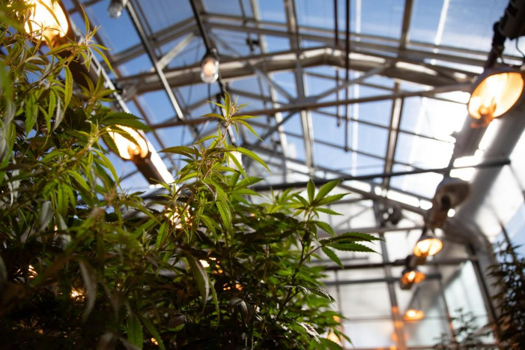 UConn has been growing hemp in a campus greenhouse for several years. Photo by Ryan Caron King for Connecticut Public Radio