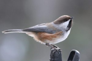 The boreal chickadee. Photo from Flickr