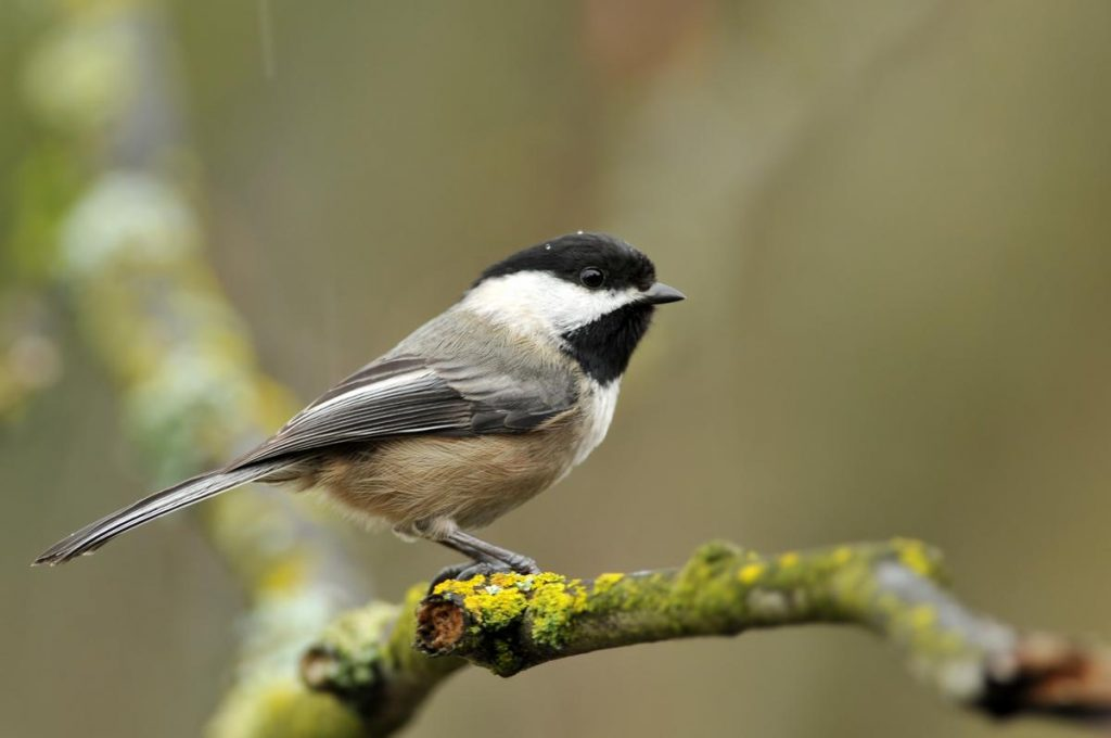 The black-capped chickadee. Credit Wikimedia Commons