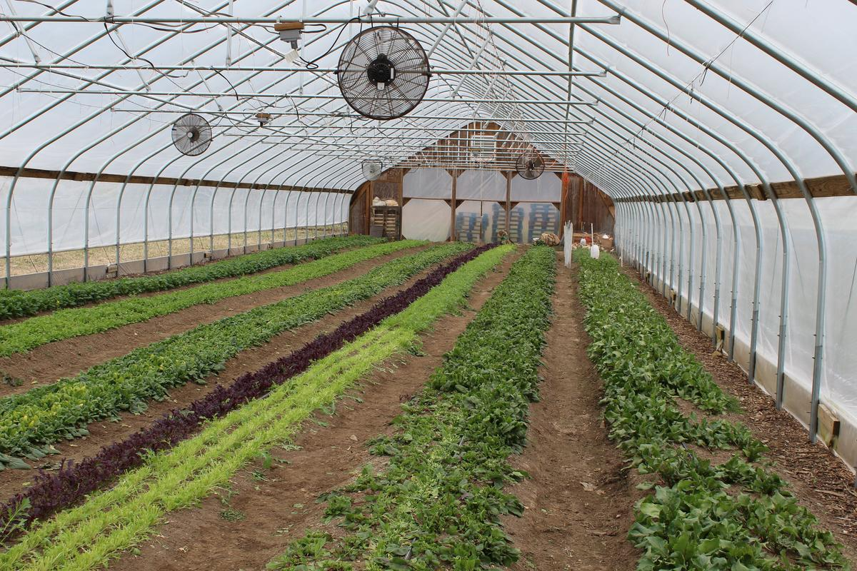 Spinach and other leafy greens are grown inside a hoop house, a structure similar to a greenhouse that enables farmers to extend the growing season in northern climates. Photo by Cassandra Basler for WSHU