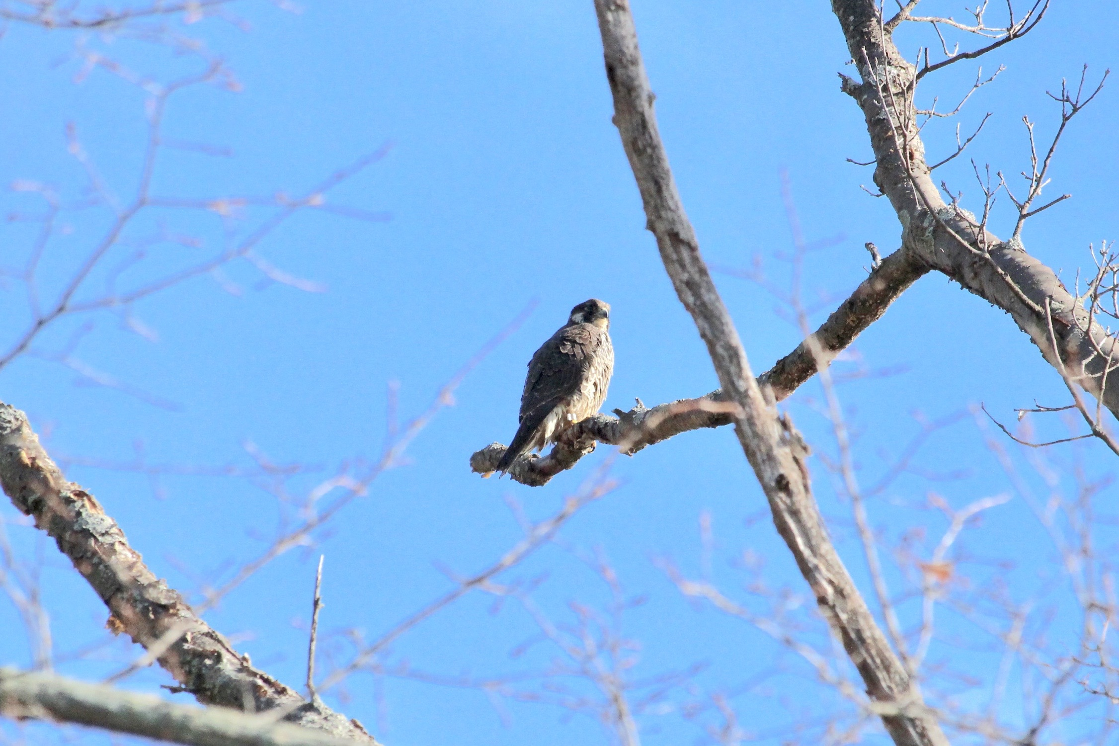 A juvenile peregrine falcon in Massachusetts. Photo by Dyana, Flickr, Creative Commons