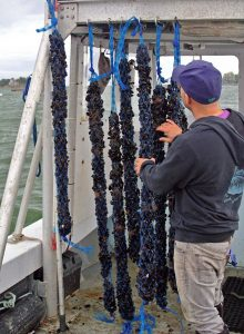Bren Smith with Mussels from his farm. Photo courtesy of GreenWave