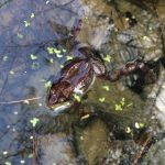Volunteer Molly Murray captured this image of a wood frog during a trip to the vernal pool she's monitoring in Montpelier. Photo by Molly Murray