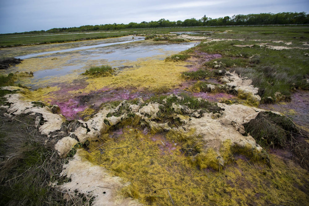 Colorful algae forms in the stagnant water behind emabankments. The embankments will be removed in order allow the water to ebb and flow freely in and out of the marsh lands. Photo by Jesse Costa for WBUR