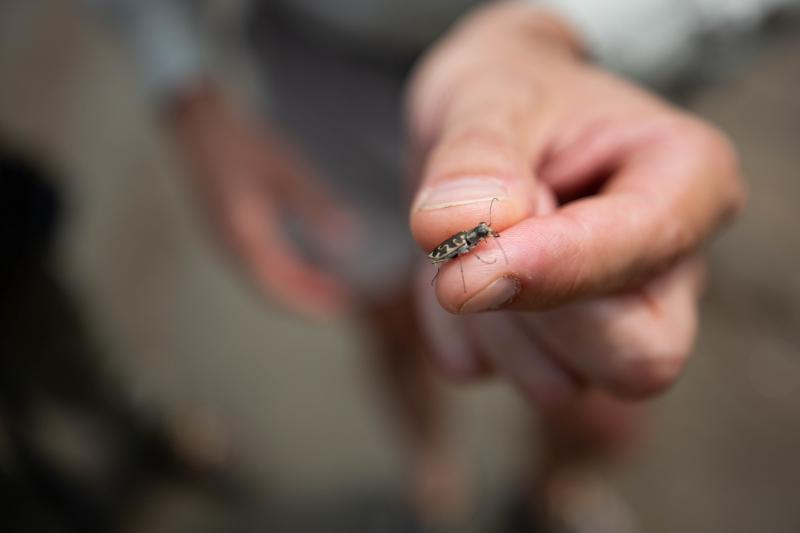 Rodger Gwiazdowski holds up a Puritan tiger beetle found this summer. This incredibly rare insect was spotted at a secret spot along the banks of the Connecticut River.