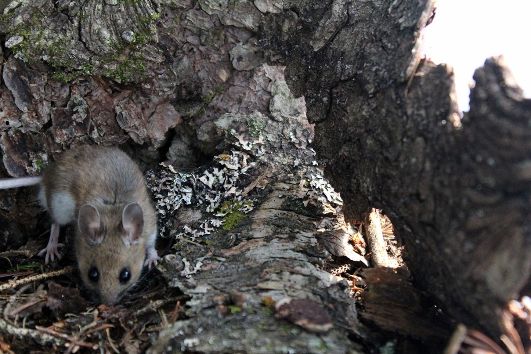 Mouse on forest floor with tree bark