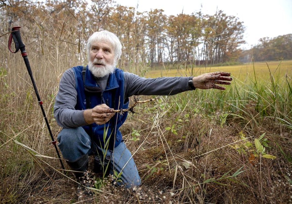 Robert Buchsbaum holds a phragmites root at the edge of the marsh at Mass. Audubon's Rough Meadows Wildlife Sanctuary in Rowley. Photo by Robin Lubbock for WBUR