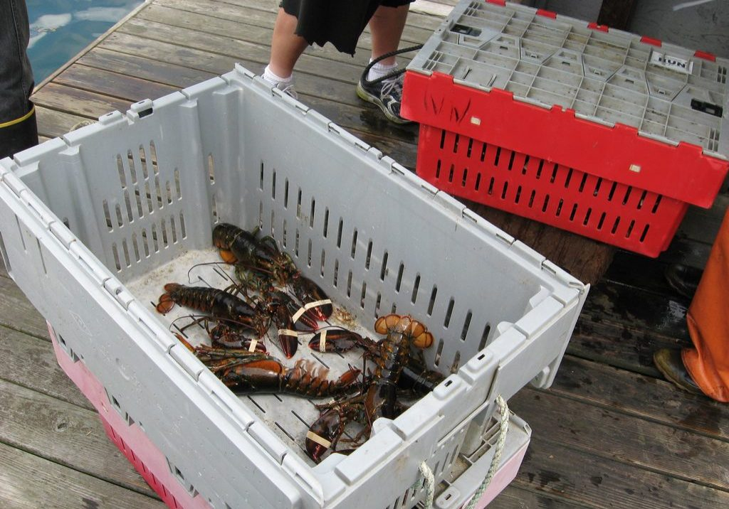Lobsters caught by Spruce Head Fisherman's Coop in South Thomaston, Maine. Photo by Maine Public Radio