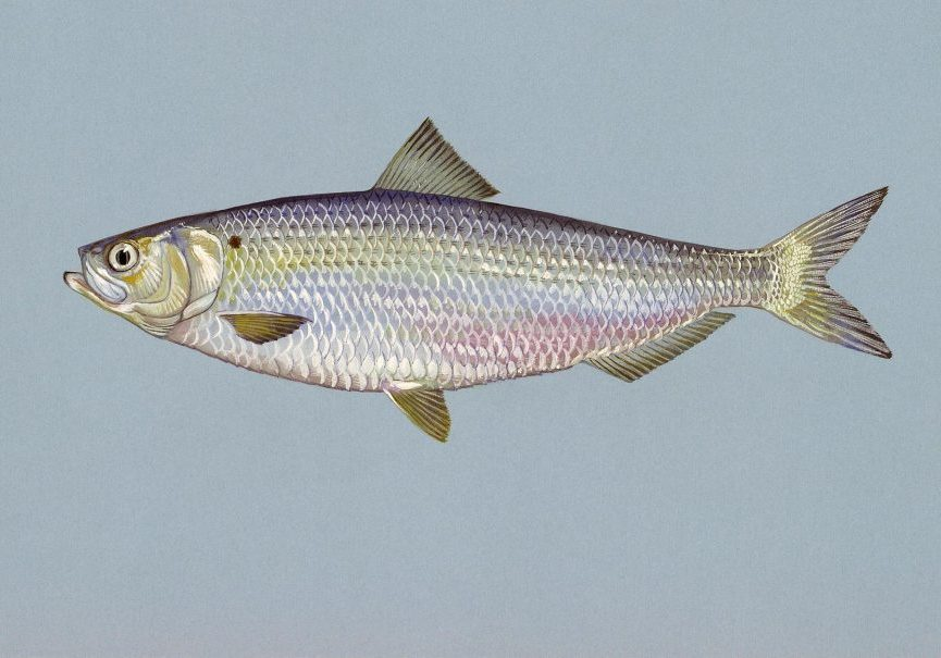 A blueback herring. While showing signs of inland recovery in some areas, blueback herring and alewife are still a major focus for biologists and conservationists. Photo from Wikimedia Commons