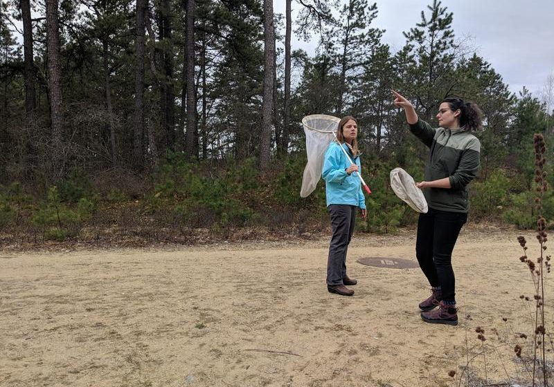 State butterfly biologists Heidi Holman, left, and Samantha Derrenbacher scout for frosted elfin butterflies in the Concord pine barrens, where the endangered Karner blue butterfly was reintroduced nearly 20 years ago. Photo by Annie Ropeik for NHPR