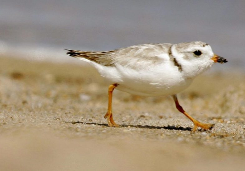 An adult piping plover runs along a beach as waves lap on the shore in the Quonochontaug Conservation Area, in Westerly, R.I. Photo by Steven Senne for the Associated Press